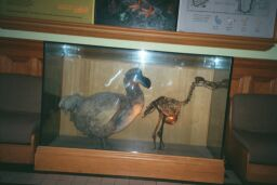 Dodo bird in City Hall Museum