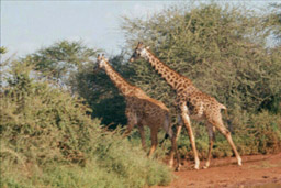 Tsavo National Park, Kenya - Reticulated Giraffes