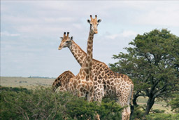 Inkwenkwezi Game Reserve, South Africa - Reticulated Giraffes