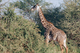 Tsavo National Park, Kenya - Reticulated Giraffe